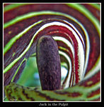 Title: Jack in the Pulpit