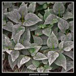 Title: powdery mildew