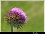 Title: musk thistle