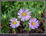 Title: trinity of asters