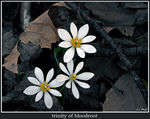 Title: trinity of bloodroot
