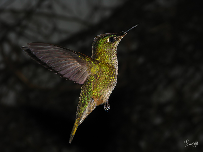 Hummingbird in  the night