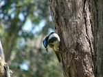 Title: Blue Faced Honeyeater