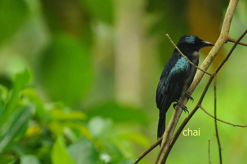 The Mysterious Drongo