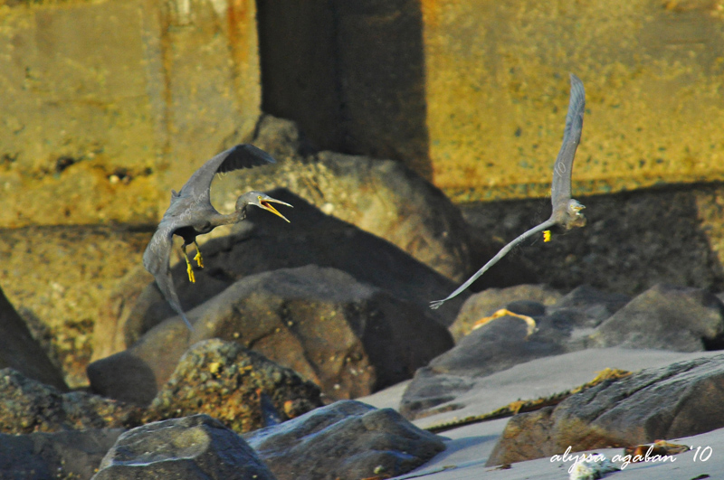 Courting Style of a Pacific Reef Egret