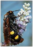 Title: Mammoth wasp