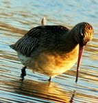 Title: Bar-Tailed Godwit