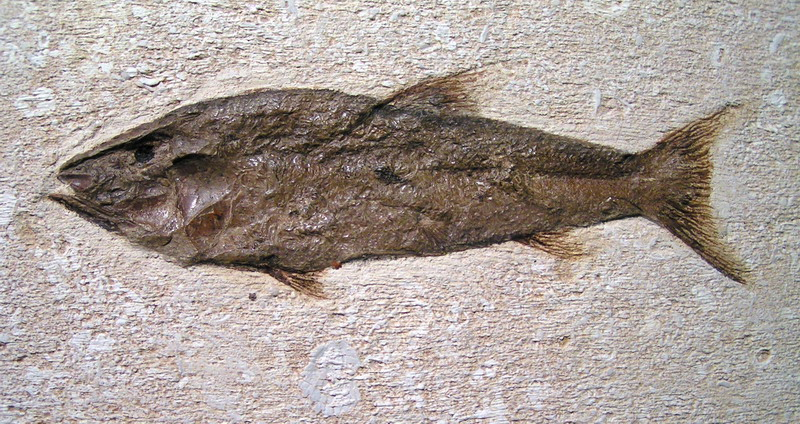 fossil of the fish