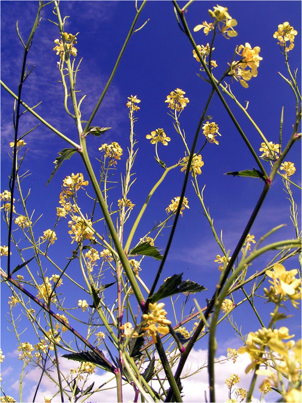 rapeseed infront the  sky