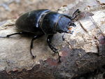 Title: Stag-beetle-