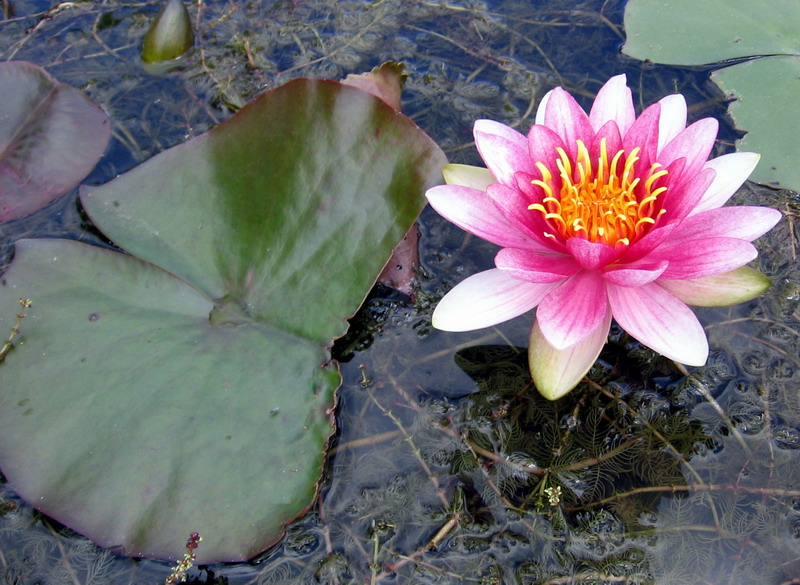 water lily for Sabine