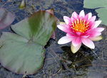 Title: water lily for Sabine