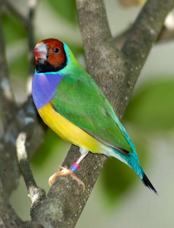 Lady Gouldian Finches For