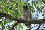 Title: Long-eared Owlet