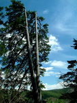 Title: Two headed pine