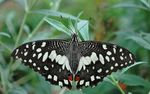 Title: Common Lime (Papilio demoleus)