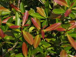 Title: Gymnanthes lucida - Crabwood