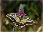 Title: Old World Swallowtail