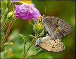 Title: Turkish Meadow Brown