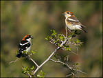 Title: Male and female Woodchat Shrike