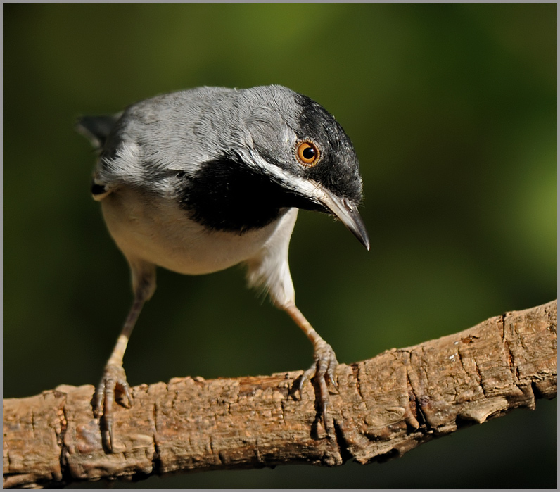R�ppell's Warbler
