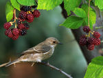 Title: Spotted Flycatcher&Blackberry