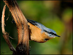 Title: Eurasian Nuthatch