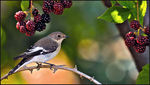 Title: Collared Flycatcher