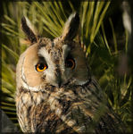 Title: Long-eared Owl