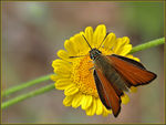 Title: Essex Skipper
