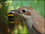 Title: Red-backed Shrike & Bumblebee