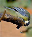 Title: Great Tit&Drop