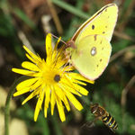 Title: Clouded Yellow and hoverfly