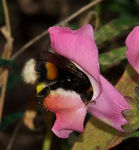 Title: Bumblebee in The Snapdragon