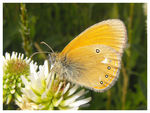 Title: Coenonympha glycerion