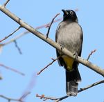 Title: Yellow _ vented Bulbul