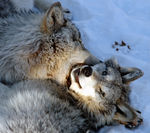 Title: Grey Wolves for Bobair