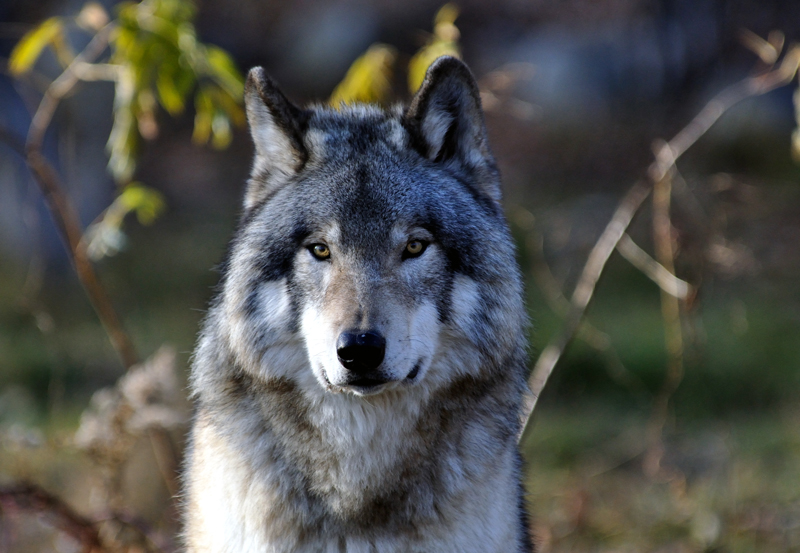 Grey Wolf for Anna
