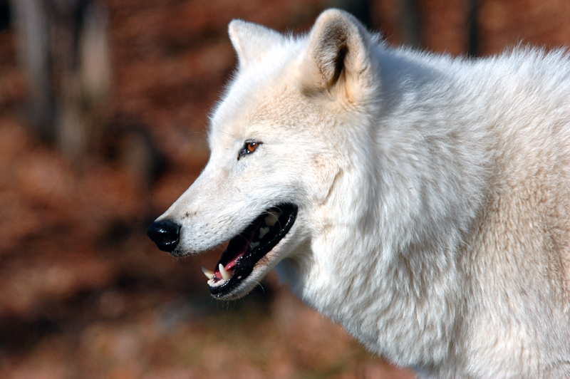 Arctic Wolf for Rick