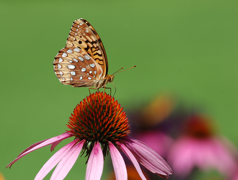 Great Spangled Fritillary for Silvio