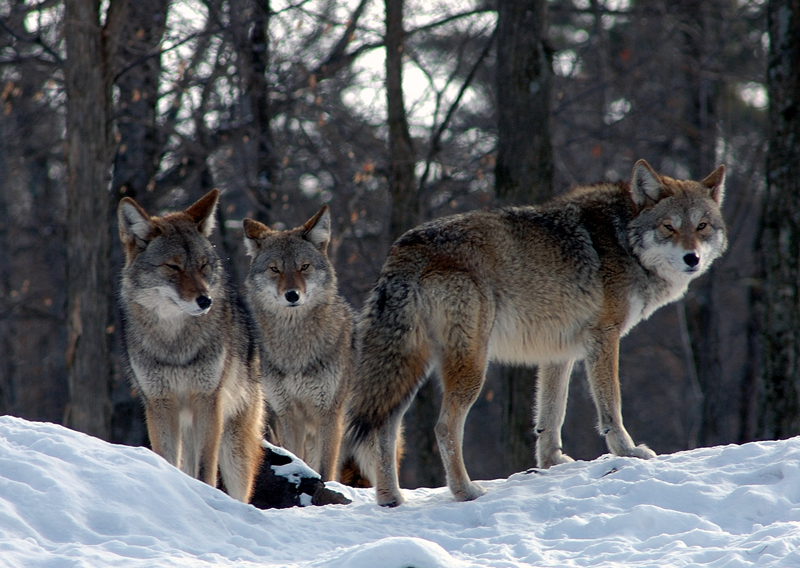 Northern Coyotes for Jaycee