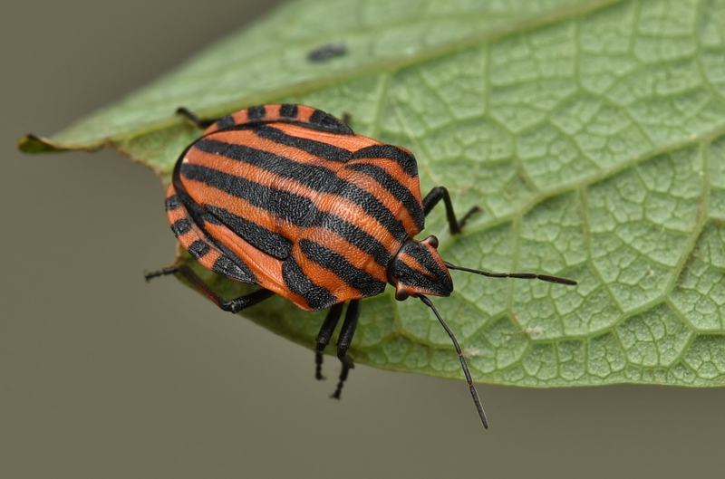 GRAPHOSOMA LINEATUM-eggs