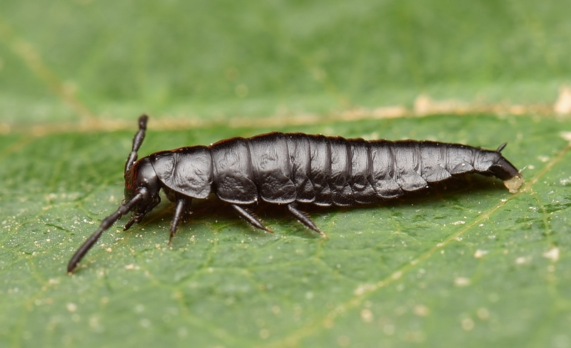LARVAE OF A CARRION BEETLE