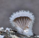 Title: SCHIZOPHYLLUM COMMUNE