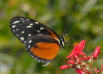 Title: HELICONIUS HECALE