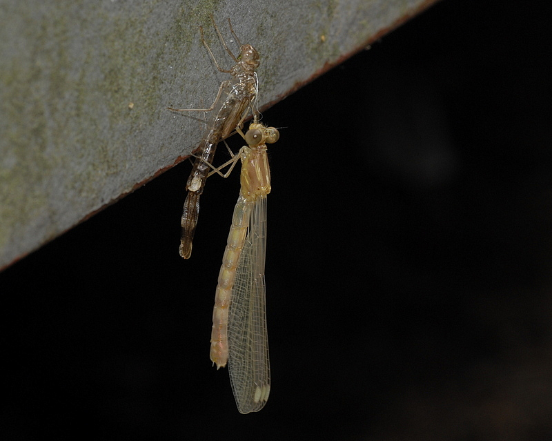 MOULTING OF A DAMSELFLY
