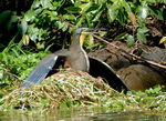 Title: BARE THROATED TIGER  HERON?