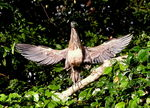 Title: BARE  THROATED TIGER HERON