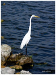 Title: Ardea alba (Great Egret)
