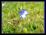 Title: Bluebell